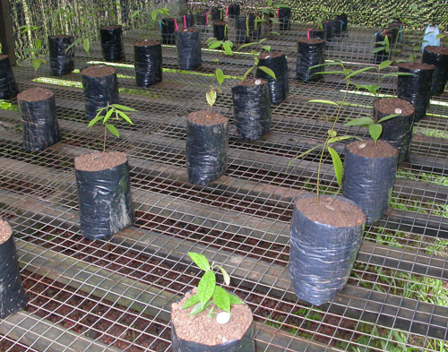 Seedlings in nursery.